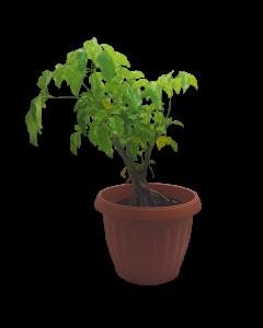 Planta Cheflera Verde