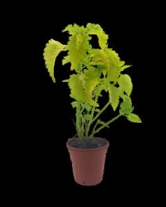 Planta Coleo