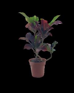 Planta Croto Variado Chico