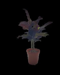 Planta Croto Variado Grande
