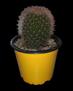 Planta Cactus Injertado