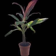 Planta Cordiline Variado