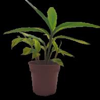 Planta Ginger Matizado