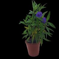 Planta Groelia