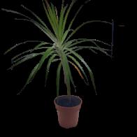 Planta Marginata Tupida