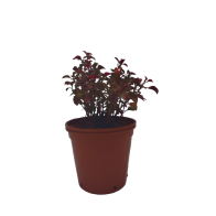 Planta Té Chino Rojo